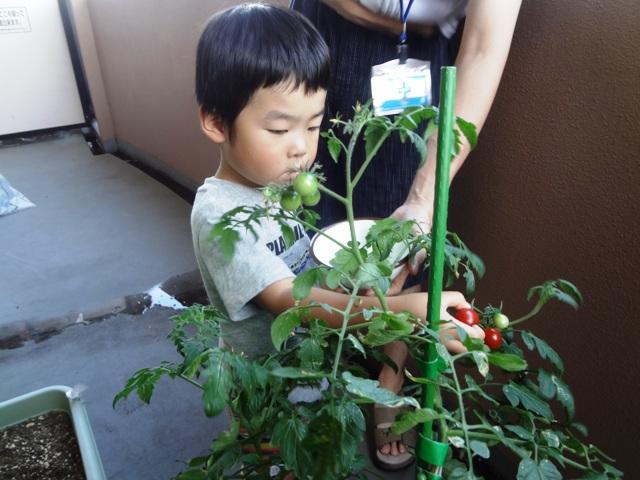 ミニトマト取りに集中している陸ちゃん
