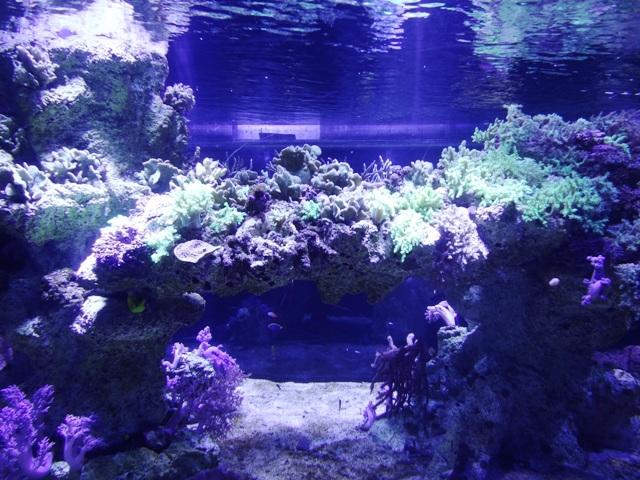 すみだ水族館の珊瑚1