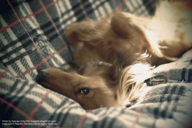 ミッキー(ミニチュアダックス犬)