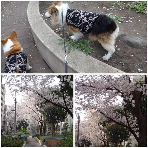 201303 ご近所の桜
