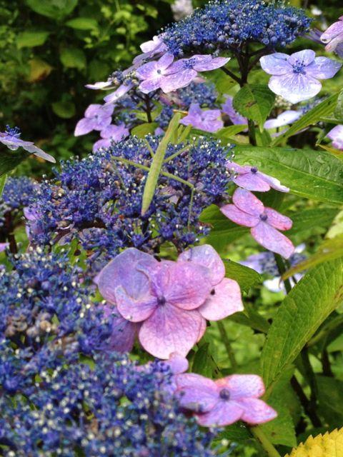 紫陽花カマキリ