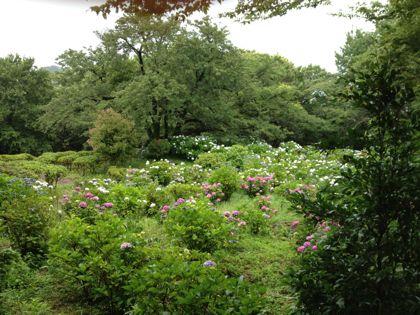 紫陽花全景