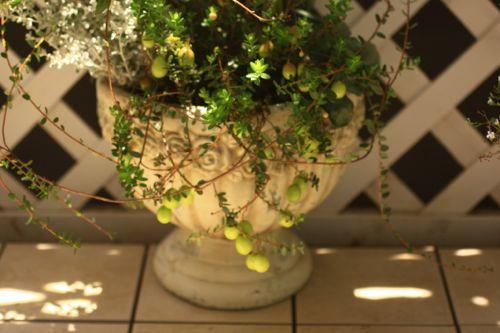 鉢とツルコケモモ