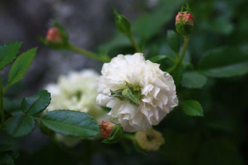 新旧薔薇&つぼみ
