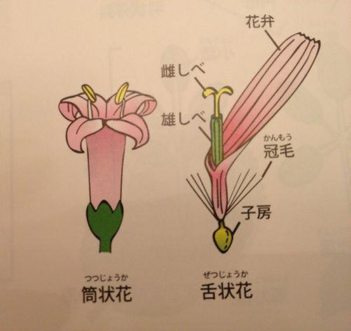 筒状花と舌状花