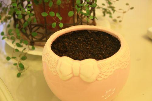 こまつなを植えた鉢