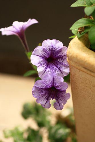 紫のペチュニア