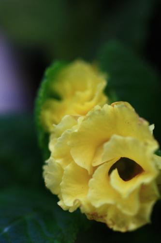黄色の薔薇咲きジュリアン