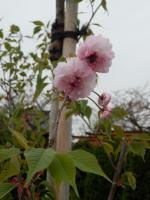 剱折戸菊桜