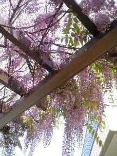 ピンクの藤Ⅱ