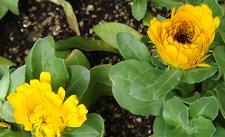 黄色)カレンデュラ