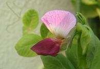 早い時期の花