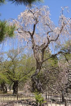 小諸八重紅枝垂れ桜