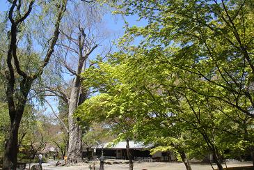 欅のむこうは藤村記念館