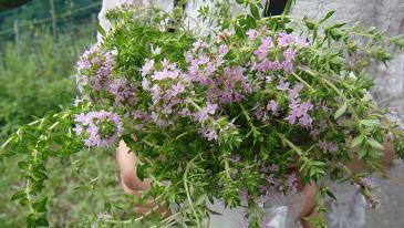 イブキジャコウソウの花束