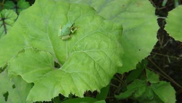 かわいい蛙