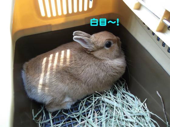 ぴょん子131030_04