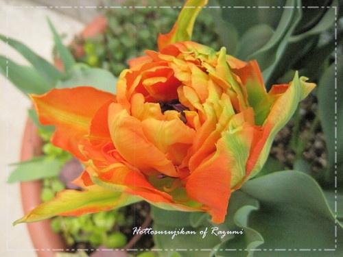 八重咲きチューリップ モンテオレンジ
