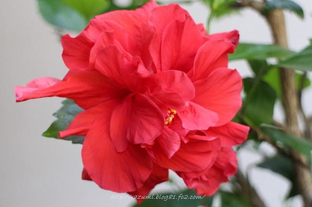 八重咲き ハイビスカス