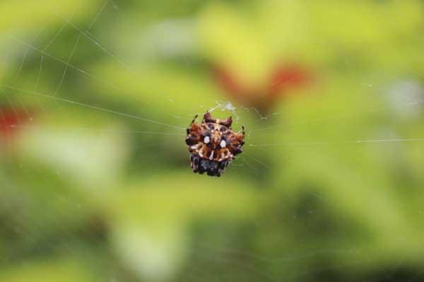 シーサーのクモ