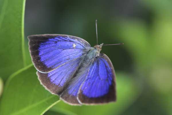 ムラサキシジミの紫1