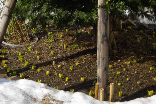 ヒアシンスの芽