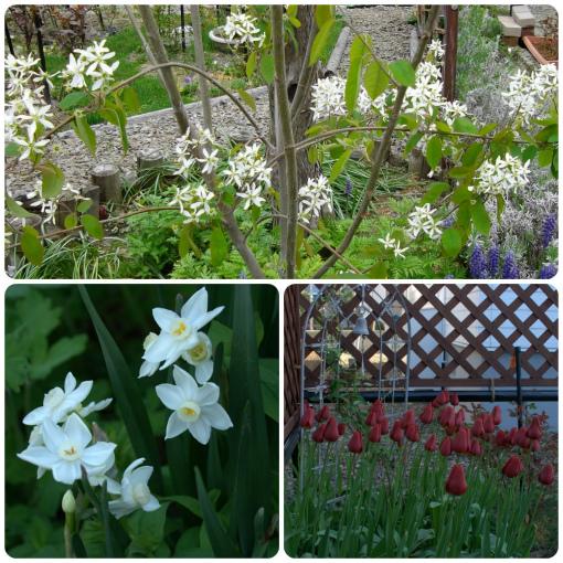 ジューンベリー、匂い水仙、房咲きチューリップ
