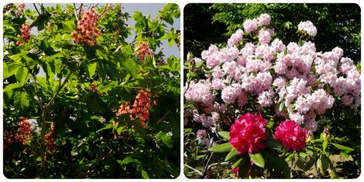 紅花トチの木&シャクナゲ