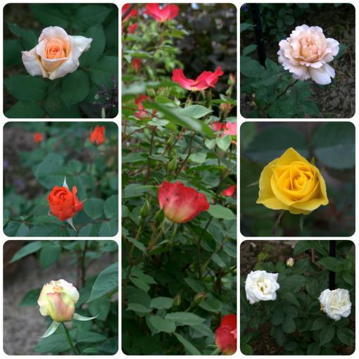 咲き始めたバラ