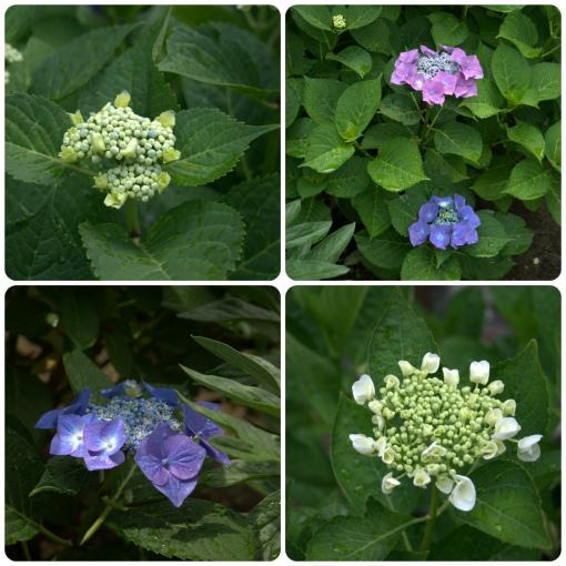 ミンタラの紫陽花