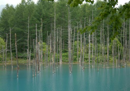 立ち枯れ樹木の整列