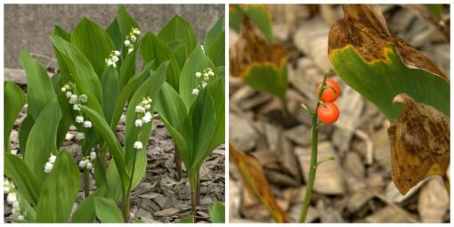 スズランの花と実