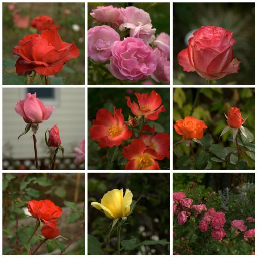 秋の薔薇②