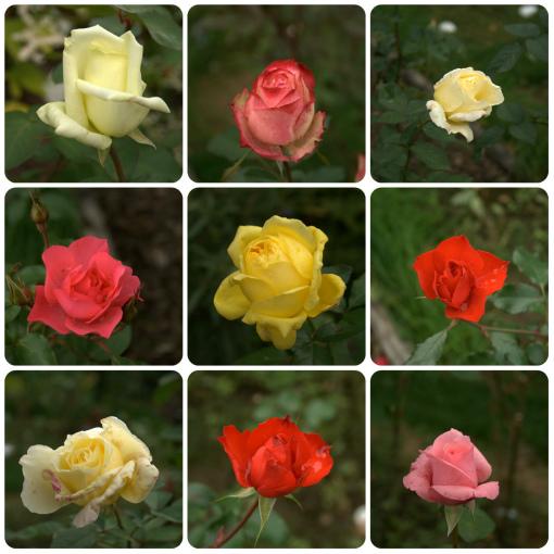 10月15日のバラ