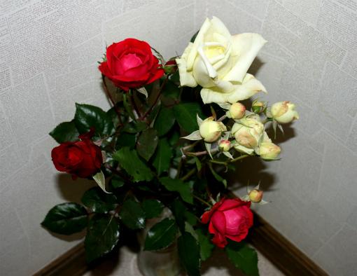 取り込んだ薔薇の花②