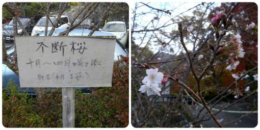 s-363-4 不断桜