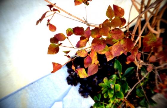 紅葉のミツバツツジ
