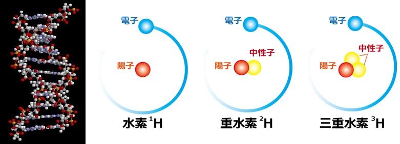 DNAのモデル図で、白い丸が水素