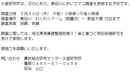 黒目川 アユ調査