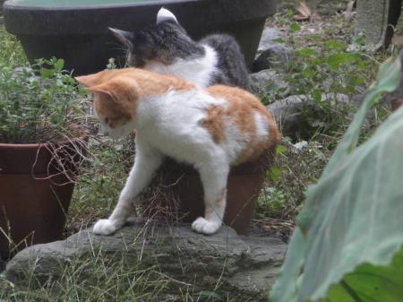 PA090124_convert_20131011143618猫と植木鉢1