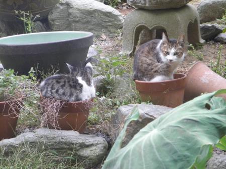 PA090125_convert_20131011143731猫と植木鉢2