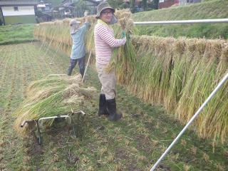 細川農園稲刈り2