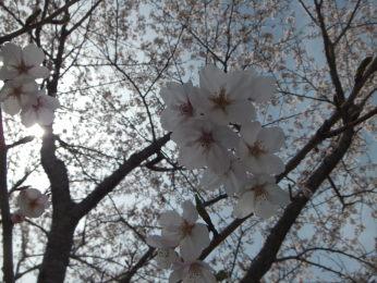 桜を見に・・。