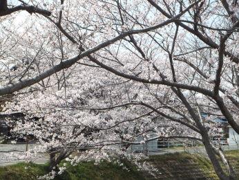 綺麗に咲いてます。