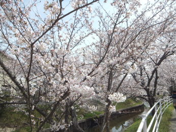 桜の花は好きですね