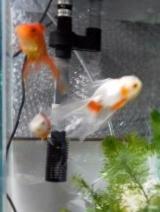 金魚111
