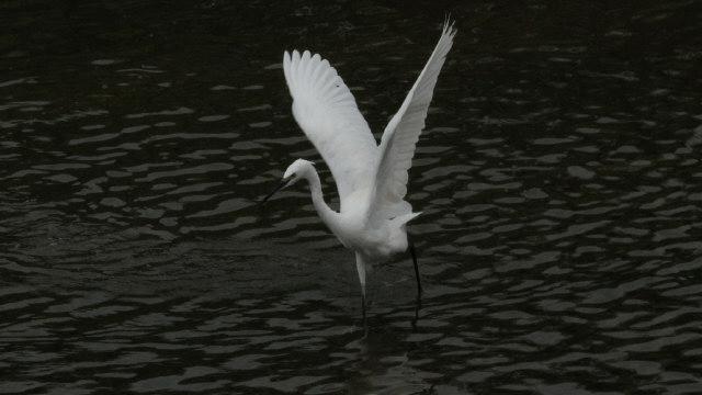 コサギA2013-7-31-3-40枚方市-天の川400-25-AVSU-1600IMG_0224
