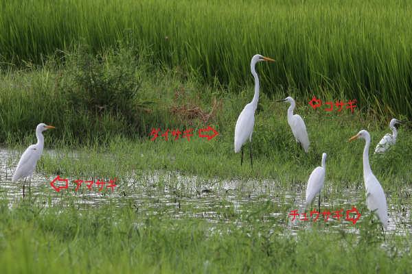 シラサギ2013-8-22-2-35高槻市-唐崎400-8avsu160IMG_3406