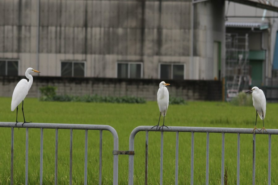アマサギ2013-9-5-2-35高槻市-三島江PA320-8avsu160IMG_0221