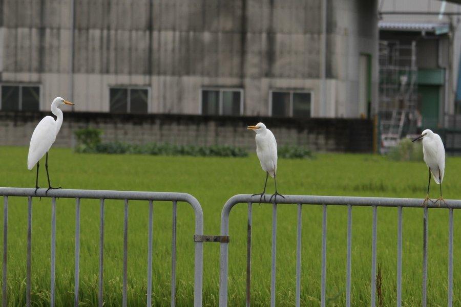 アマサギ2013-9-5-3-35高槻市-三島江PA320-8avsu160IMG_0223